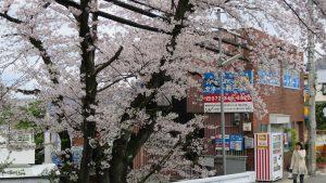 サポートガード事務所の前の桜が満開です